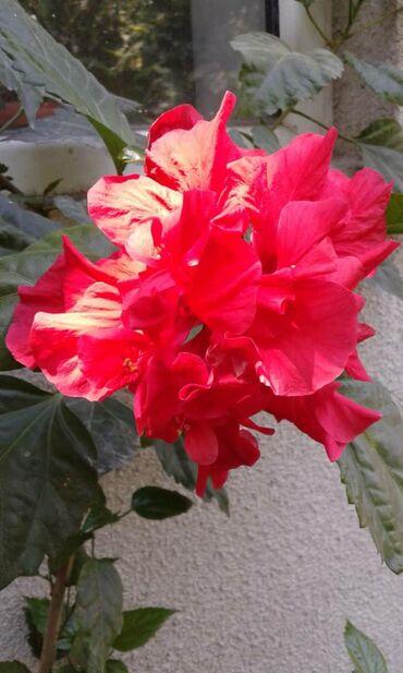 Китайский розанын 3 туру бар
