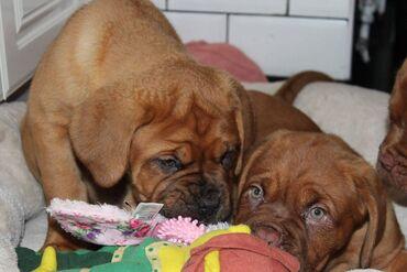Psić KC Dogue de BordeauxOvi psići su izuzetno kvalitetnih krvnih