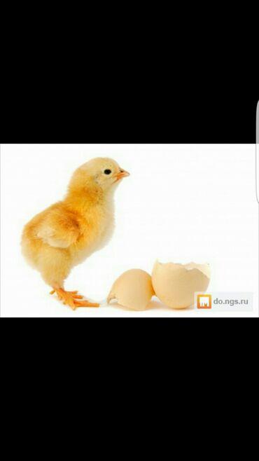 протеин для роста мышц купить в Кыргызстан: Бройлер !!! Продаются цыплята бройлера. Порода АРБОР АЙКРЕС. 1-3 сут