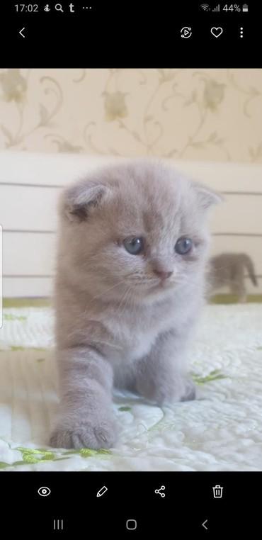 Bakı şəhərində Шотландские чистопородные котята. 1