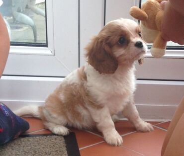 Cavalier King Charles Puppies. I have an outstanding litter of cavali