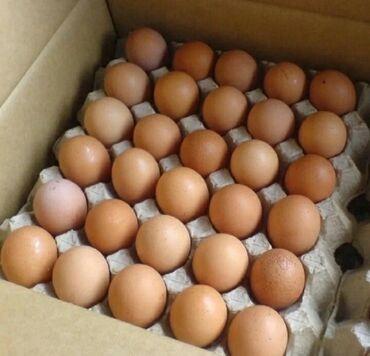 Животные - Ош: Продаю инкубаторные яйцо Минималка 500штЦена 32 сом По городу доставка