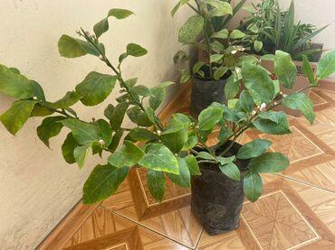 Otaq bitkiləri - Azərbaycan: Limon 10 Azn. Calaq olunmus agacdir bar verecek