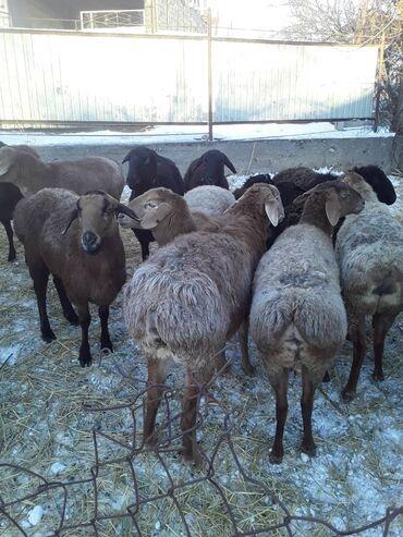 Бараны, овцы - Назначение: Для разведения - Бишкек: Бараны, овцы