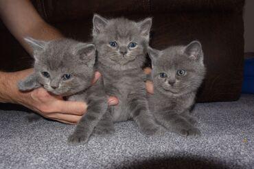Βρετανικό γατάκι Blue Shorthair για υιοθεσίαWhatsApp μου +33 Έχουμε