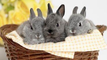 Декоративные кролики Порода: миноры.Цвет: серый Прививки