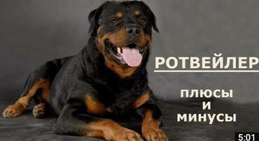 39 объявлений   ЖИВОТНЫЕ: Собаки