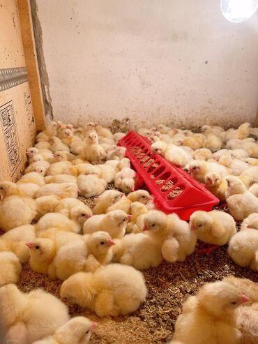 Продаю   Цыплята   Бройлерная   На забой