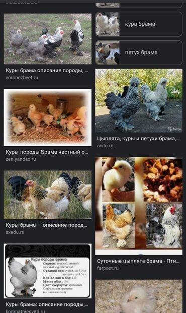 Животные - Кыргызстан: Продаю цыплят брам(светлый и черный) 10 цыплят породы брам чистопородн