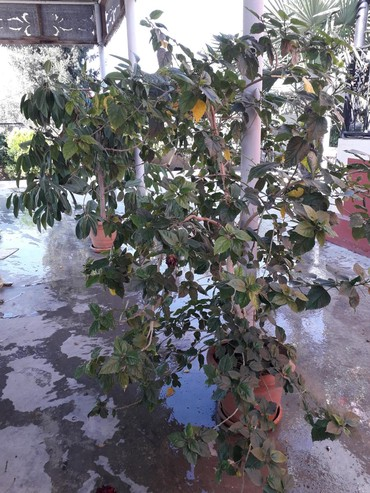 Otaq bitkiləri Sabirabadda: Rozagulu
