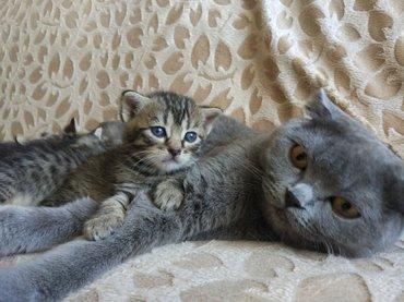 Срочно и недорого! Продаются котята in Bakı