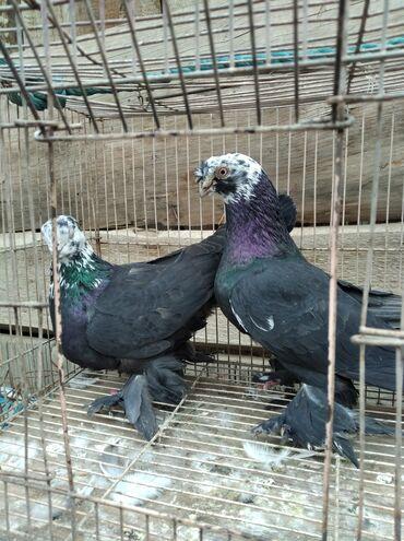 296 объявлений   ЖИВОТНЫЕ: Птицы