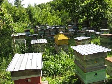 Есть в продаже пчеломатки Бакфаст в Бишкек