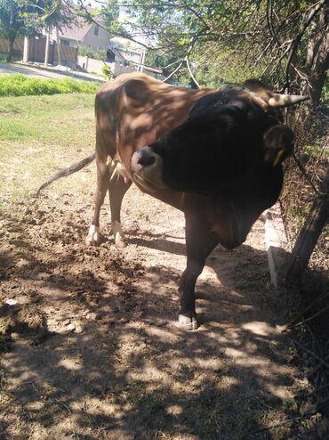 Животные - Шевченко: Продаю корову срочно в данный момент даёт 20 литров молока, стельная 3