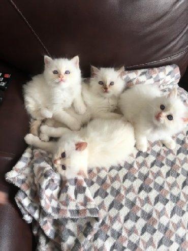 Mačke | Srbija: Birman ljubke modre Tortie ženske na prodaj. GCCF REGISTROVANI NEAKTI