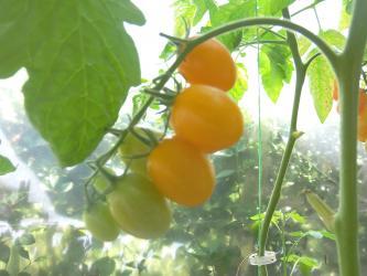 Na prodaju 10 semenki narandžastog duguljastog čeri paradaiza - Uzice