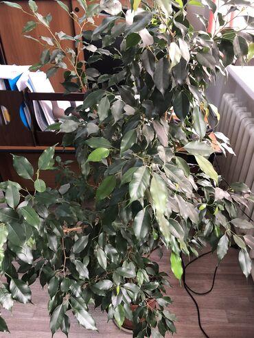 Комнатные растения - Кыргызстан: Продаётся офисный цветок (фикус Бенджамина)