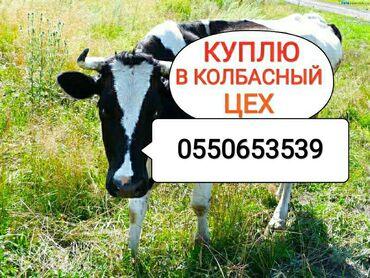 Животные - Кыргызстан: Куплю | Коровы, быки | Любое состояние