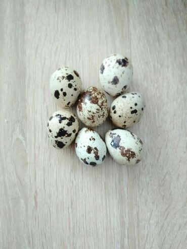 инкубатор апарат в Кыргызстан: Продаю домашние перепелиные яйца. Можно и для инкубатора . Яйца всегда