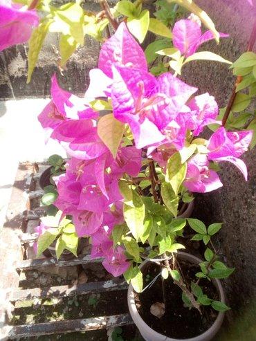 Бугенвилии фиолетовая ( укорененные черенки ) по 150 сом в Лебединовка