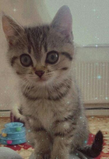 Pişiklər - Azərbaycan: Шотландский котенок девочка
