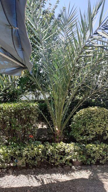 Otaq bitkiləri - Masallı: Xurma ağacı 4 metrdən hundurdur 15 ilin ağacıdır. Real alıcıya endirim