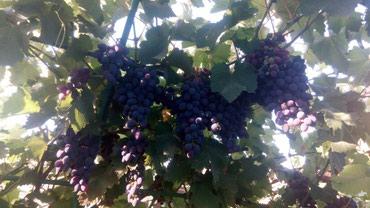 Продаю корни волгоградского винограда. 1 год в Бишкек