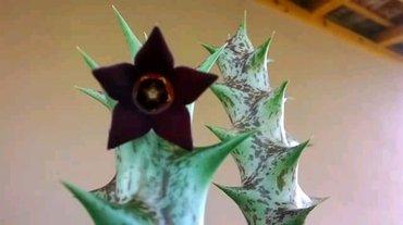 Caralluma hesperidum, cvet je crna zvezda, 200din velicine oko 10cm - Veliko Gradiste