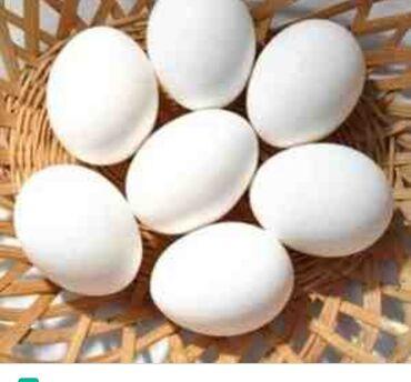 Qaz yumurtanizi verin biz inkubasiya edək. Çıxan hər qaz yumurtasına 2