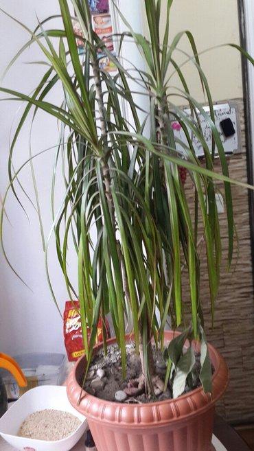 Bakı şəhərində 3 budaq palma satiram hundur olur boyüyende indi 70 80 sm olar..