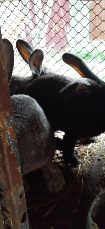 Продаю кроликов возраст 5 месяцев 500сом за одного торг уместен Порода