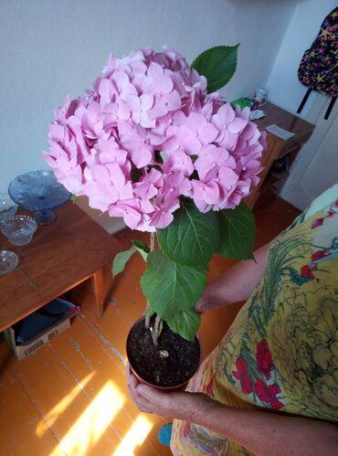 Цветы Розовая гортензия большая, Голландия