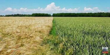 Животные - Александровка: Куплю ячмень пшеницу
