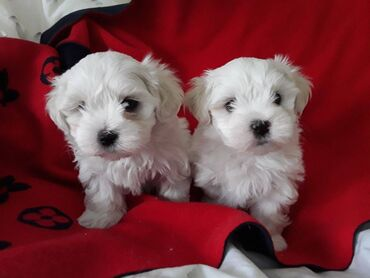 Male and female Maltese puppies are now ready to meet their new loving