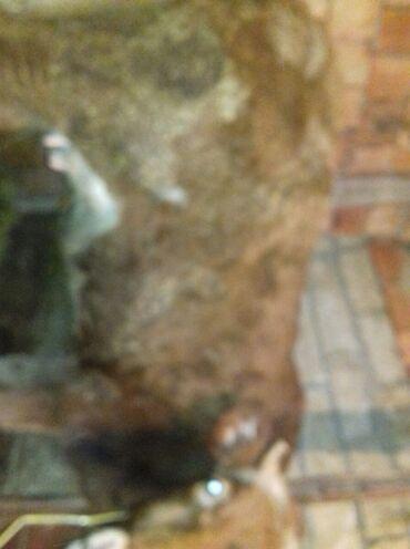 Животные - Шабран: Ana bala 2 ci qari 1dene 60 kiloluq disi dana tecili satlir asaqi yeri