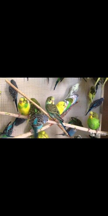 Разные попугаи по 300 сом любой возраст в Бишкек