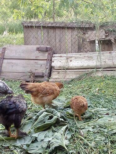 Животные - Арашан: Продаются куры молодые и цыплята от двух месячных до пятимесячный от