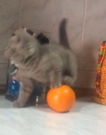 вислоухий шотландец котенок в Азербайджан: Британский котёнок Девочка. 45 дней. Плющевая Мишечка. Имеет