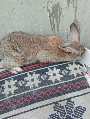 Декоративные кролики - Кыргызстан: Фландер самка 07.06.2021 покрылась