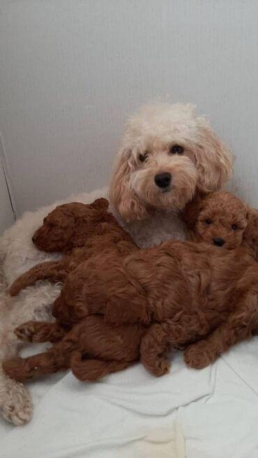 Παιχνίδια κουτάβια Poodle διαθέσιμα προς πώληση Toy Poodle κουτάβια