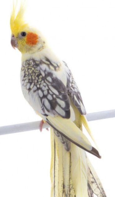 Попугаи кареллы хорошо учатся говорить и приручаются к рукам. Есть