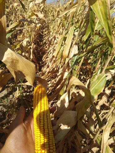73 объявлений: Продаю( рушенную или с пачаткой) Кукурузы с поле ! Сорт Маями и пионер