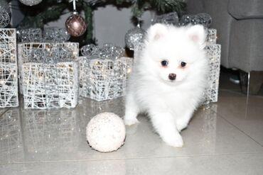 Pomeranian κουτάβια για υιοθεσίαΤα κουτάβια Pomeranian για οποιοδήποτε