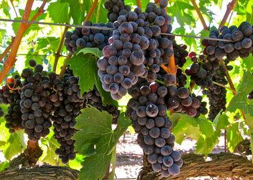 Prokuplje - Srbija: Grozdje za vino  -Game -Sauvignon Blanc -Cabernet sauvignon -Merlot -P