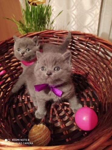 Животные - Кыргызстан: Выставляются на продажу плюшевые шотланские котята голубого