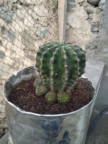 Otaq bitkiləri Gəncəda: Kaktus