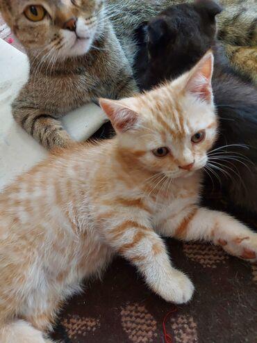 Шотладский котенок(Скотиш страйт)Девочка, самостоятельно кушает, ходит