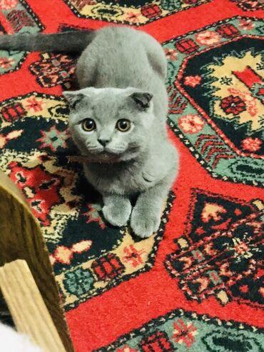 husky qiymeti - Azərbaycan: Tecili satilir scotish fold pisiyi wotlandiya pisiyi tam saglamdir