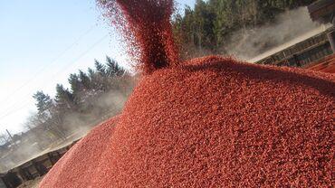 Кукуруза, Зерно Кукурузы купить, Бишкек. У нас вы можете купить семена