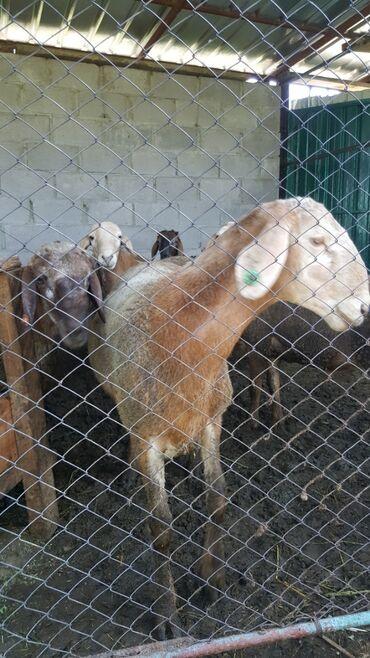 Продаю   Овца (самка), Ягненок, Баран (самец)   Гиссарская   На забой, Для разведения   Племенные, Матка, Ярка